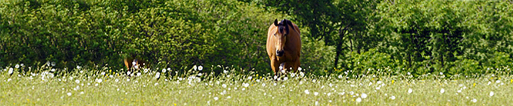 bay horse in wild flower meadow