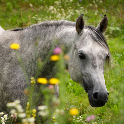 Arab horse in wild flower field